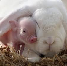 piglet bunny cuddles